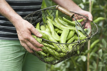 provenance: A man in a garden holding a basket of freshly harvested broad beans