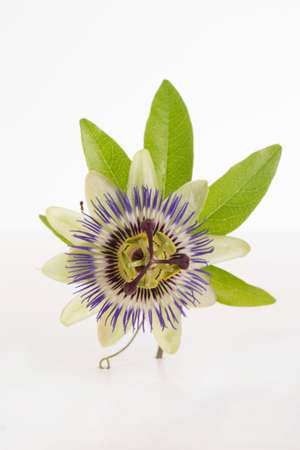 passionflower: A passionflower on a white surface