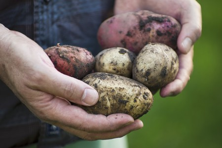provenance: A man in a garden holding freshly harvested potatoes (red and yellow) LANG_EVOIMAGES
