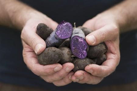 provenance: A man holding freshly harvested purple Vitelotte potatoes LANG_EVOIMAGES