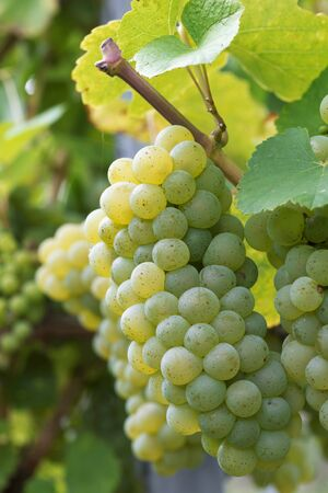 riesling: Riesling grapes LANG_EVOIMAGES