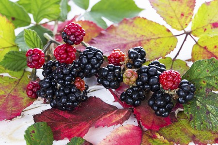 Blackberries with autumnal leaves LANG_EVOIMAGES