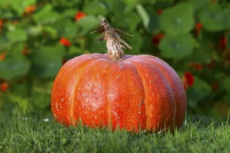 cucurbita: A pumpkin in a field LANG_EVOIMAGES