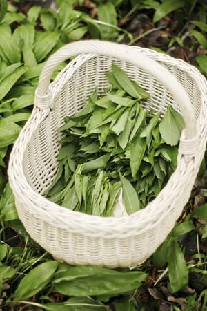 harvested: A basket of freshly harvested wild garlic