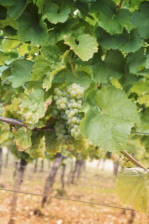 wijnbladeren: Riesling druiven tussen wijnbladeren