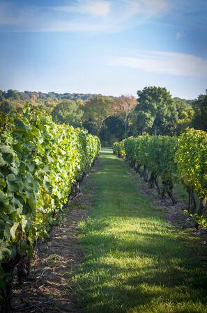 winegrowing: Vines in a vineyard LANG_EVOIMAGES