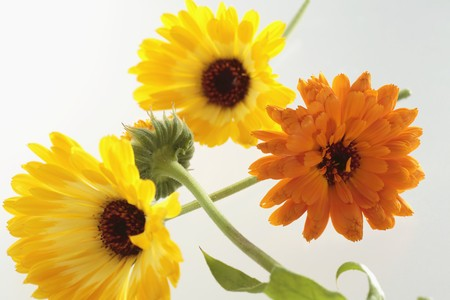noone: Calendula flowers LANG_EVOIMAGES