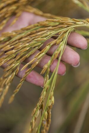 provenance: A hand holding ears of rice (Thailand) LANG_EVOIMAGES