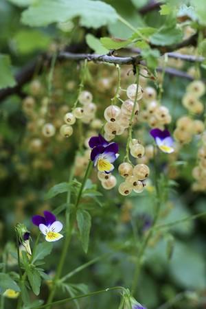 violets: Whitecurrant plants growing between violets