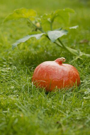 cucurbita: A Hokkaido pumpkin in green grass
