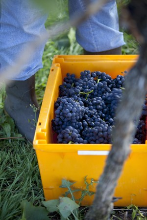 serve one person: Freshly harvested pinot noir grapes in a yellow crate