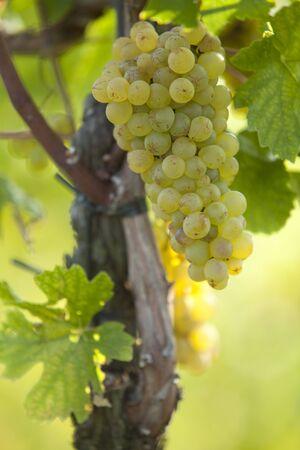 chardonnay: Chardonnay grapes on the vine