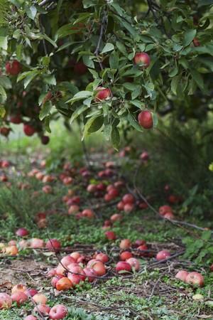 windfalls: An apple tree and windfalls