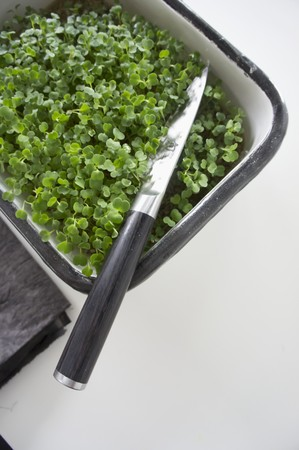 cress: Fresh cress in a planter