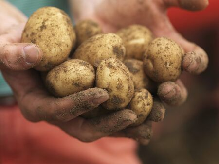 earth handful: Dirty hands holding potatoes LANG_EVOIMAGES