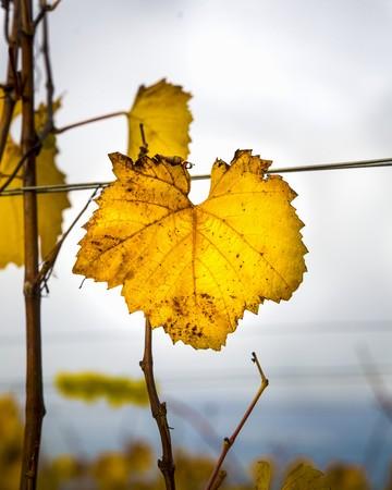 Autumnal vine leaf on the vine