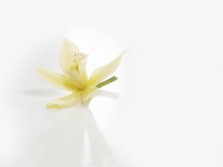whiteness: Vanilla blossom on a white background