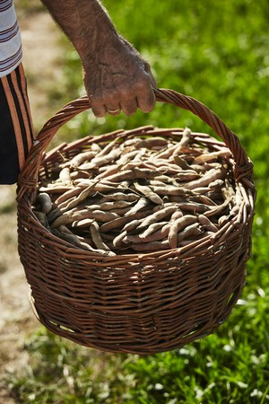 A man carrying a basket of kidney-shaped, Austrian Scarlet Runner beans LANG_EVOIMAGES