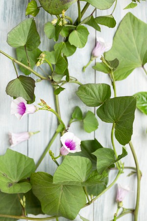 tuberous: Sweet potato leaves and flowers