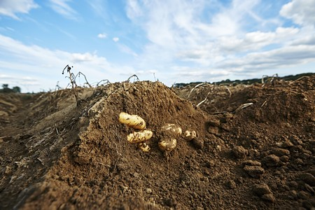tuberous: Potatoes in the ground in a field