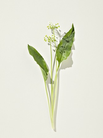 whiteness: Wild garlic: leaves and flowers on a white surface