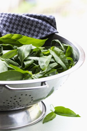 white washed: Fresh wild garlic in a colander for washing on a white surface