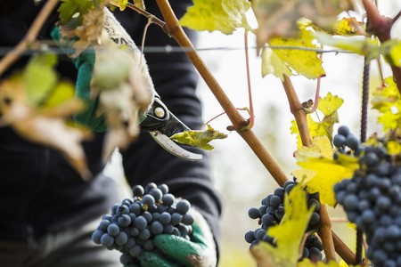 Red wine grapes being picked LANG_EVOIMAGES