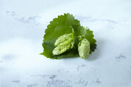 Hop cones with leaves LANG_EVOIMAGES