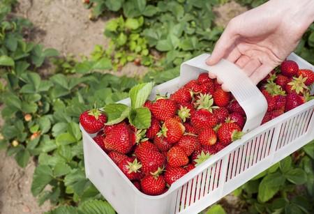 Freshly picked strawberries in a plastic basket
