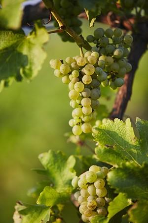 Sauvignon Blanc grapes on a vine (Southern Styria, Austria)