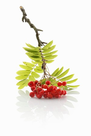 rowanberry: A sprig of rowan berries on a white surface
