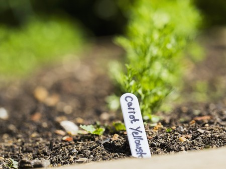 planted: Yellowstone carrots in a vegetable patch LANG_EVOIMAGES