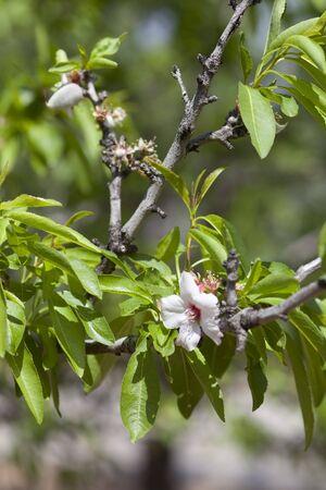 albero nocciolo: Almond blossom on the branch