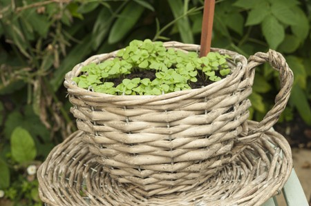 ides: Radish seedlings growing outside in a basket shaped like a teacup