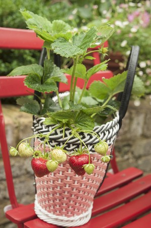 vintage furniture: A strawberry plant in a decorative woven plastic pot on a red garden chair LANG_EVOIMAGES