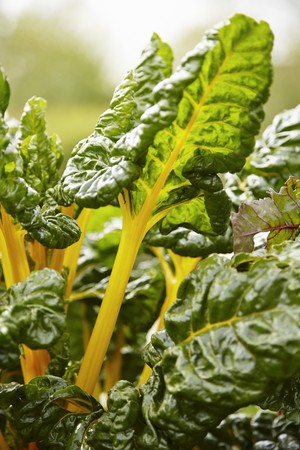 Yellow-stemmed chard growing in a garden LANG_EVOIMAGES