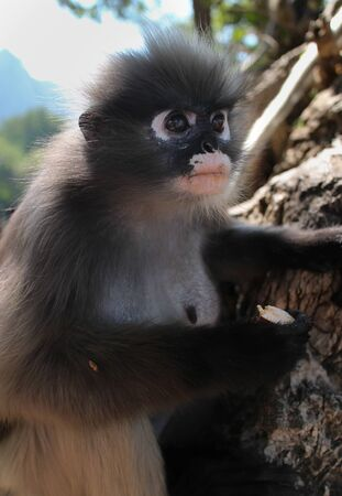 primate: Wild Langur Primate Monkey Among the Rocks at its Open Sanctuary Animal Preserve in Thailand, Asia