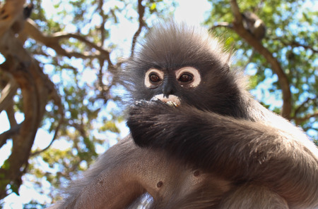 rivals: An Alpha Male Langur Primate Monkey Eats while scanning the environment for rivals and threats Stock Photo
