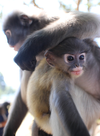 antics: Langur Primate Monkey Rests its Arm on the Head of a Nearby Youngster.  The wild langurs roam freely along the beach in Southern Thailand, always on the lookout for food, friends, and foe.