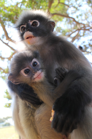 carding: Mother Langur Primate Monkey with Youngster, scanning the surroundings for friend and foe. These langurs live in an open wild sanctuary in Thailand, and are not contained in a zoo but allowed to roam freely.