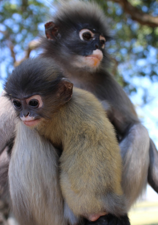 not open: Mother Langur Primate Monkey with Her Youngster at an open Preserve Sanctuary in Southeast Asia not a zoo; note the yellowish coloring on the youngster, which will fade as it matures Stock Photo