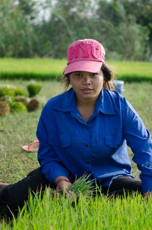 bundled: A female worker looks up from her work with a freshly pulled clump of rice in her hand. Behind her, green rice shoots can be seen bundled and waiting. Editorial