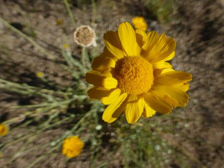 medium close up: Overhead medium close up of wild yellow desert flower in the mountains of New Mexico. Stock Photo