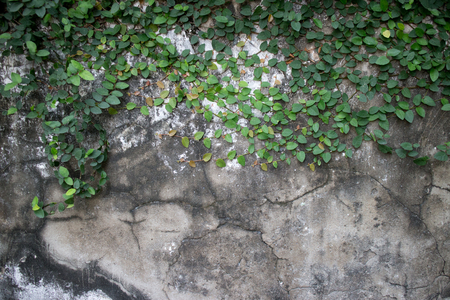 creepers: Old weathered and vintage colonial era wall in Southeast Asia with vines and creepers growing across the top of the frame. Cracks, fissures, and black mold are seen below.