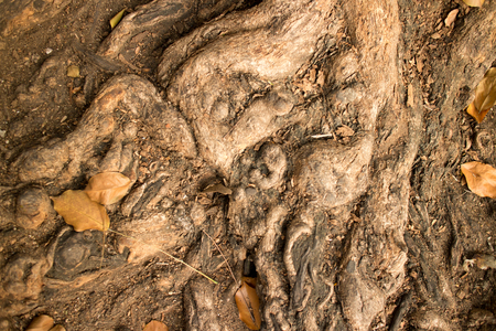 burl wood: Gnarled root clump detail of a tree in Asia, with dirt, leaves and dust lying among the roots.