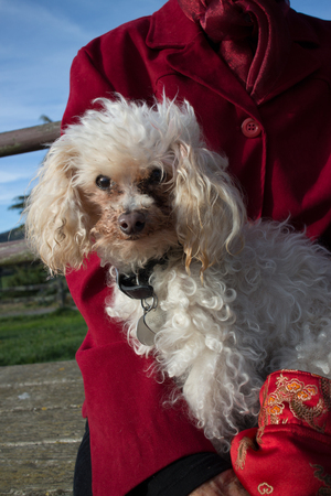 dog run: A neatly groomed white poodle enjoys being held by a person wearing a red jacket, near a dog run in Northern California.