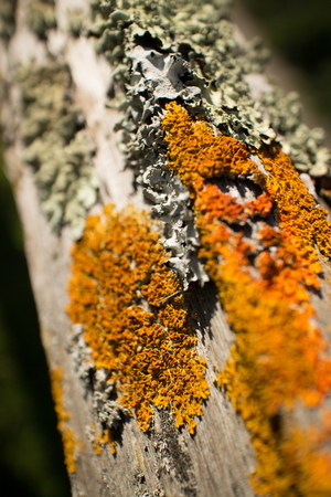 fencepost: Thick colorful lichens on a wooden fence, with upper fencepost running from the camera perspective to background and shallow depth of field. The lichens are green and orange in the brilliant afternoon sun.