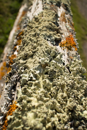 knobby: Thick colorful lichens on a wooden fencepost, with upper rail leading away from foreground - knobby green lichens are clearly visible in front. The lichens are green and orange in the brilliant afternoon sun.