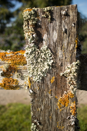 fencepost: Thick colorful lichens on a wooden fencepost, with horizontal rail seen extending from the side. The lichens are green and orange in the brilliant afternoon sun. Stock Photo
