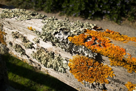 fencepost: Thick colorful lichens on a wooden fence, featuring a horizontal upper rail. The lichens are green and orange in the brilliant afternoon sun.